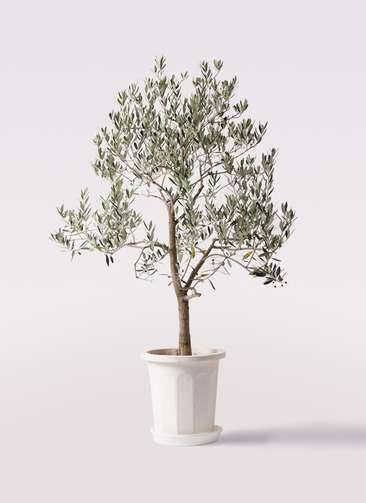 観葉植物 オリーブの木 10号 ピッチョリーネ プラスチック鉢