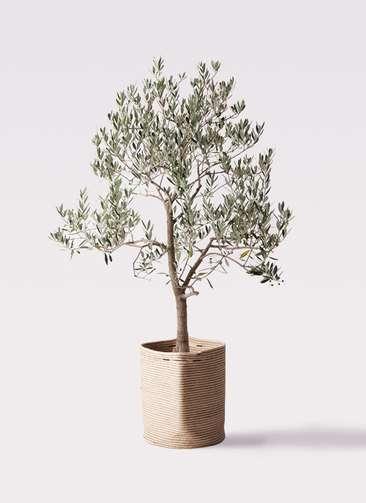 観葉植物 オリーブの木 10号 ピッチョリーネ リブバスケットNatural 付き