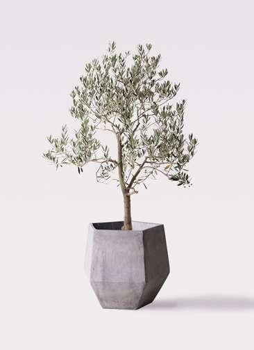 観葉植物 オリーブの木 10号 ピッチョリーネ ファイバークレイGray 付き
