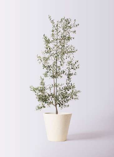 観葉植物 オリーブの木 10号 アルベキーナ フォリオソリッド クリーム 付き