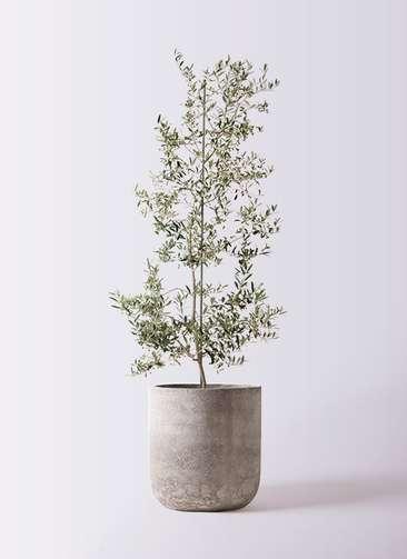 観葉植物 オリーブの木 10号 アルベキーナ エルバ 白 付き