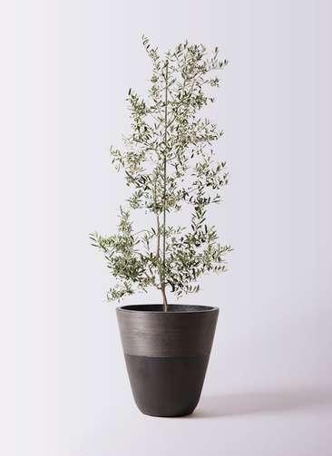 観葉植物 オリーブの木 10号 アルベキーナ ジュピター 黒 付き