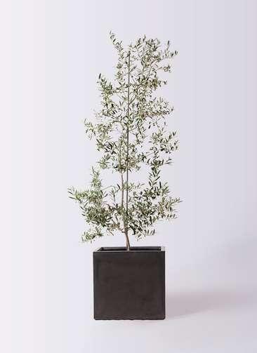 観葉植物 オリーブの木 10号 アルベキーナ ファイバークレイ キューブ 付き
