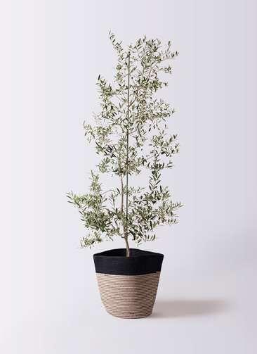 観葉植物 オリーブの木 10号 アルベキーナ リブバスケットNatural and Black 付き