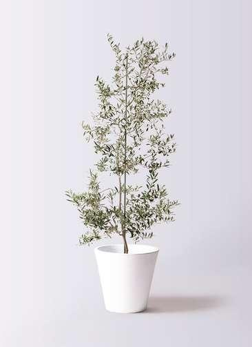 観葉植物 オリーブの木 10号 アルベキーナ フォリオソリッド 白 付き