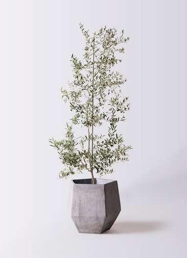 観葉植物 オリーブの木 10号 アルベキーナ ファイバークレイGray 付き