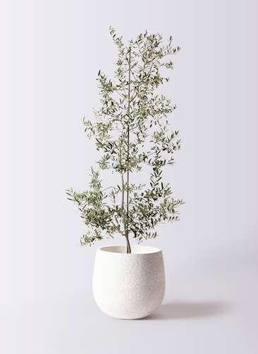 観葉植物 オリーブの木 10号 アルベキーナ エコストーンwhite 付き