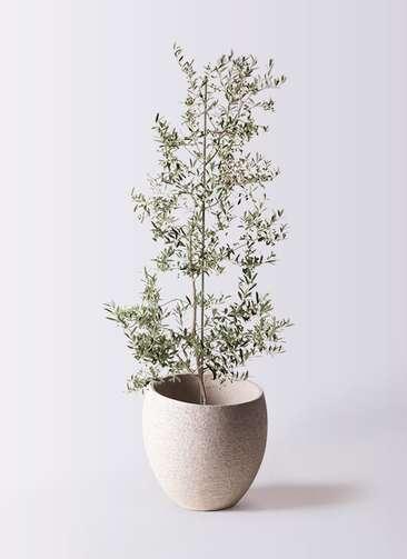観葉植物 オリーブの木 10号 アルベキーナ エコストーンLight Gray 付き