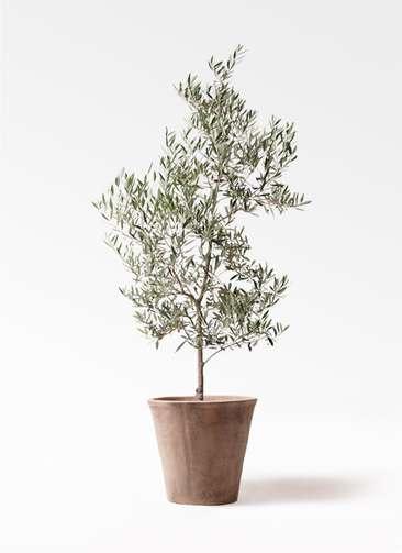 観葉植物 オリーブの木 10号 ピクアル ルーガ アンティコ ソリッド 付き