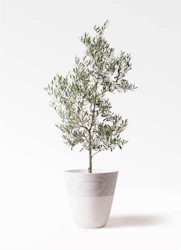 観葉植物 オリーブの木 10号 ピクアル ジュピター 白 付き