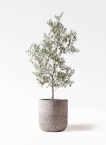観葉植物 オリーブの木 10号 ピクアル エルバ 白 付き