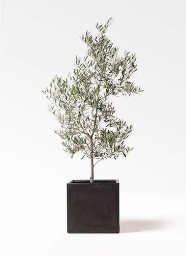観葉植物 オリーブの木 10号 ピクアル ファイバークレイ キューブ 付き