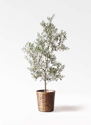 観葉植物 オリーブの木 10号 ピクアル 竹バスケット 付き