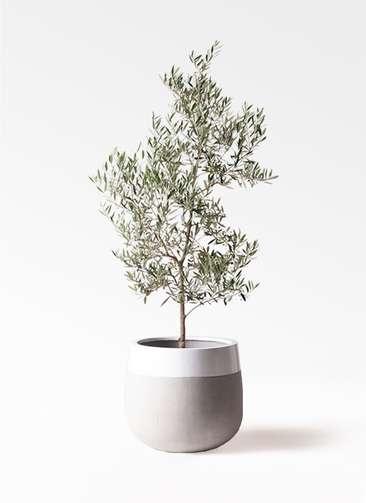 観葉植物 オリーブの木 10号 ピクアル ファイバーストーンタウルス ミドル 白 付き