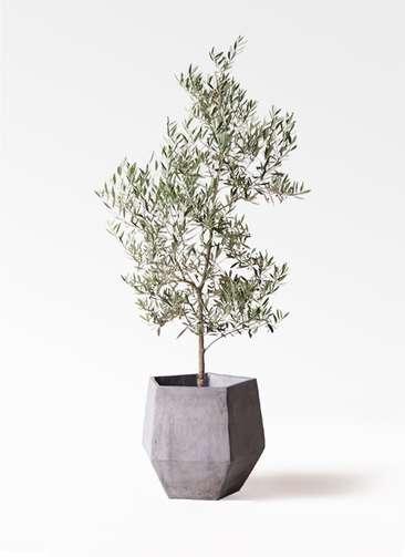 観葉植物 オリーブの木 10号 ピクアル ファイバークレイGray 付き