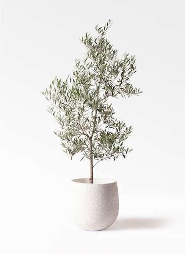 観葉植物 オリーブの木 10号 ピクアル エコストーンwhite 付き