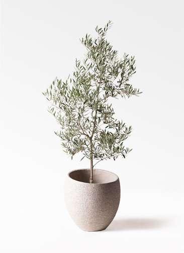 観葉植物 オリーブの木 10号 ピクアル エコストーンLight Gray 付き