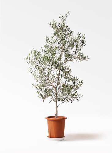 観葉植物 オリーブの木 10号 ピクアル プラスチック鉢