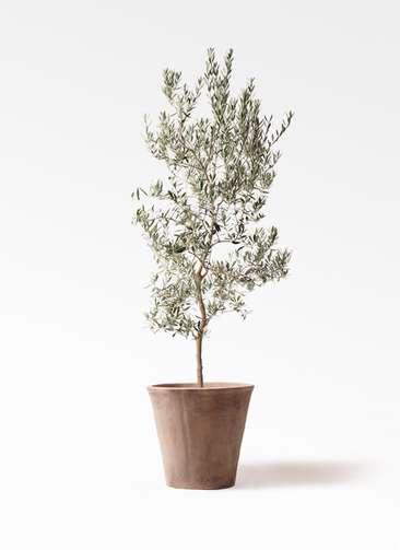 観葉植物 オリーブの木 10号 バロウニ ルーガ アンティコ ソリッド 付き