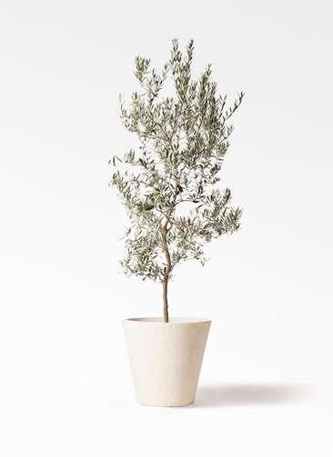 観葉植物 オリーブの木 10号 バロウニ フォリオソリッド クリーム 付き