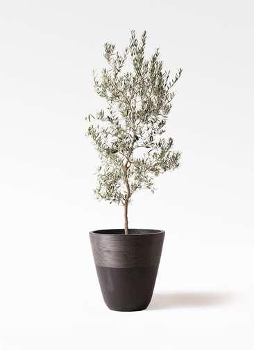 観葉植物 オリーブの木 10号 バロウニ ジュピター 黒 付き
