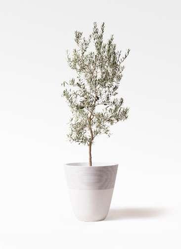 観葉植物 オリーブの木 10号 バロウニ ジュピター 白 付き