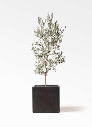 観葉植物 オリーブの木 10号 バロウニ ファイバークレイ 付き