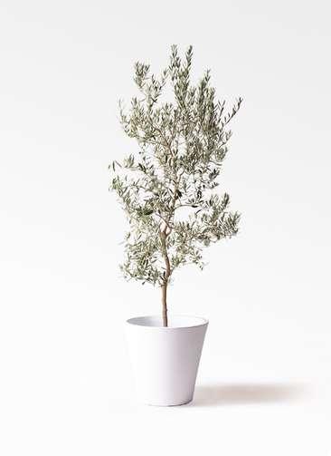 観葉植物 オリーブの木 10号 バロウニ フォリオソリッド 白 付き