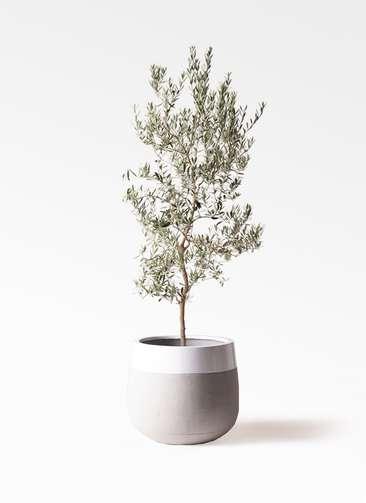 観葉植物 オリーブの木 10号 バロウニ ファイバーストーンタウルス ミドル 白 付き
