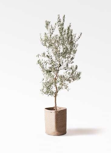 観葉植物 オリーブの木 10号 バロウニ リブバスケットNatural 付き