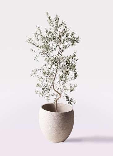 観葉植物 オリーブの木 10号 ペンドリノ エコストーンLight Gray 付き
