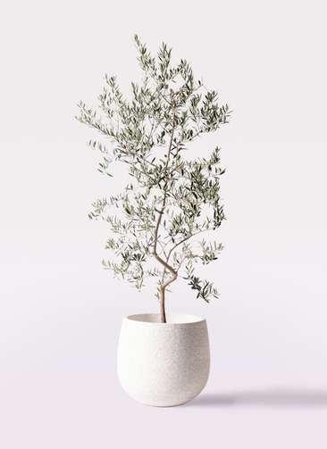 観葉植物 オリーブの木 10号 ペンドリノ エコストーンwhite 付き
