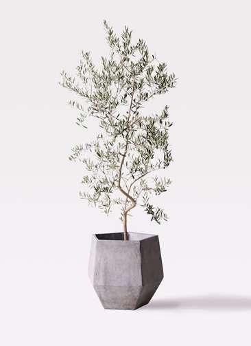 観葉植物 オリーブの木 10号 ペンドリノ ファイバークレイGray 付き