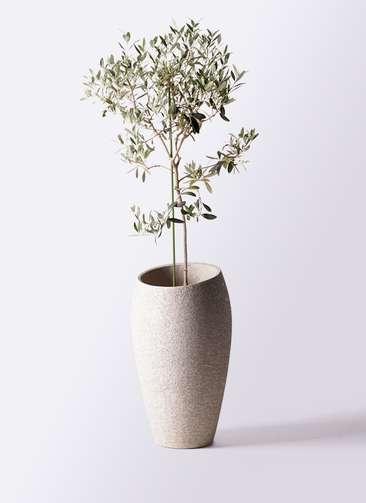 観葉植物 オリーブの木 8号 ワンセブンセブン エコストーントールタイプ Light Gray 付き
