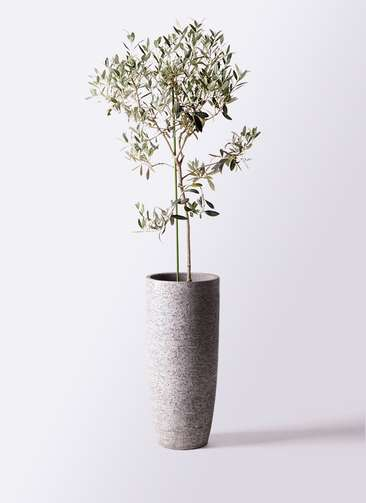 観葉植物 オリーブの木 8号 ワンセブンセブン エコストーントールタイプ Gray 付き