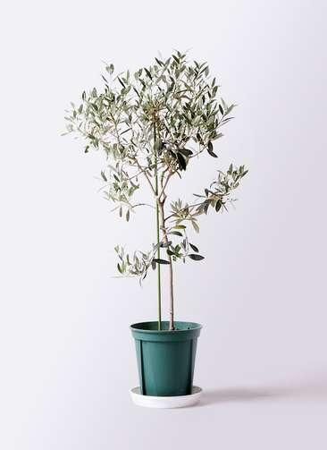 観葉植物 オリーブの木 8号 ワンセブンセブン プラスチック鉢