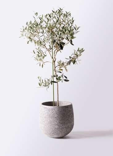 観葉植物 オリーブの木 8号 ワンセブンセブン エコストーンGray 付き
