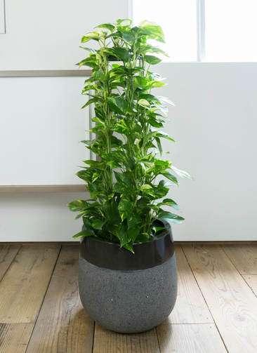観葉植物 ポトス 8号 ファイバーストーンタウルス 黒 付き