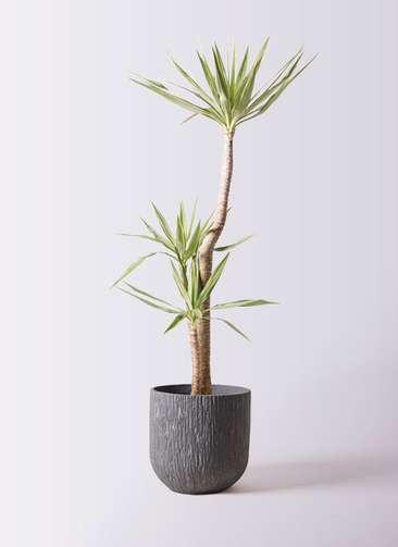 観葉植物 ユッカ 10号 斑入り カルディナダークグレイ 付き