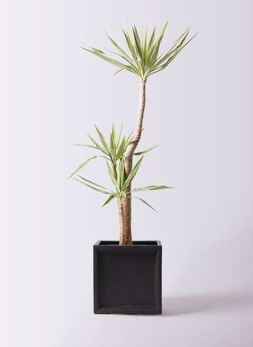 観葉植物 ユッカ 10号 斑入り ブリティッシュキューブ 付き