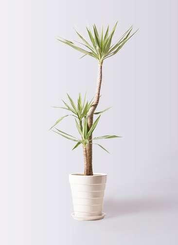 観葉植物 ユッカ 10号 斑入り サバトリア 白 付き