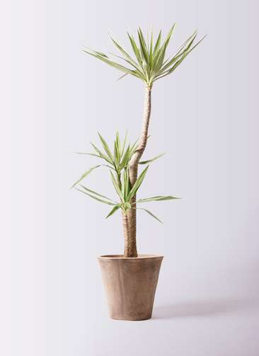 観葉植物 ユッカ 10号 斑入り ルーガ アンティコ ソリッド 付き