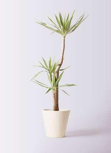 観葉植物 ユッカ 10号 斑入り フォリオソリッド クリーム 付き