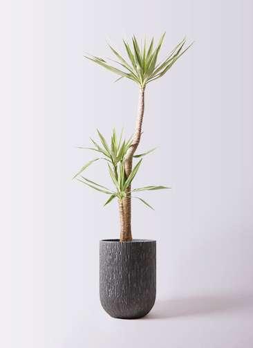 観葉植物 ユッカ 10号 斑入り カルディナトールダークグレイ 付き