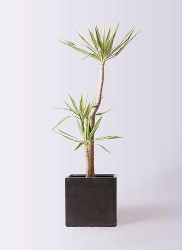 観葉植物 ユッカ 10号 斑入り ファイバークレイ キューブ 付き