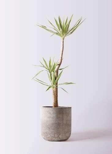観葉植物 ユッカ 10号 斑入り エルバ 白 付き