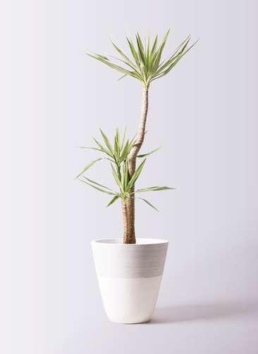 観葉植物 ユッカ 10号 斑入り ジュピター 白 付き
