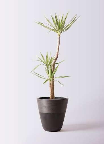 観葉植物 ユッカ 10号 斑入り ジュピター 黒 付き