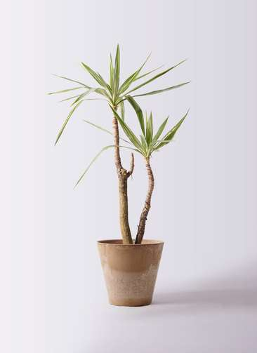 観葉植物 ユッカ 8号 斑入り アートストーン ラウンド ベージュ 付き