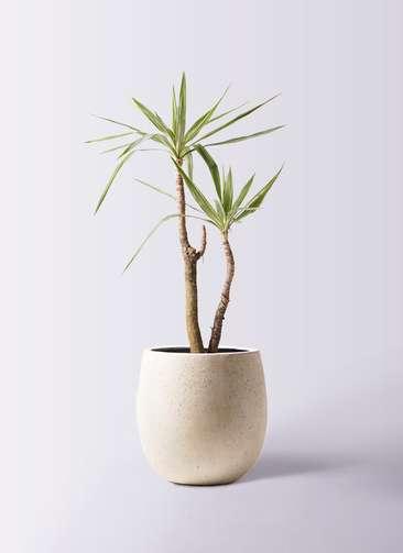 観葉植物 ユッカ 8号 斑入り テラニアス バルーン アンティークホワイト 付き